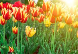 bloembollenplan_tullipen
